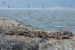 Otarie sud-américaine, flavescens d'Otaria, colonie d'élevage et haulout sur le petit extérieur Ushuaia d'îlots juste Images stock