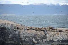Otarie sud-américaine, flavescens d'Otaria, colonie d'élevage et haulout sur le petit extérieur Ushuaia d'îlots juste Photos stock