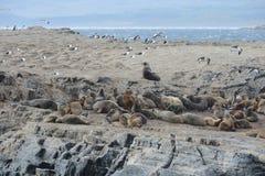 Otarie sud-américaine, flavescens d'Otaria, colonie d'élevage et haulout sur le petit extérieur Ushuaia d'îlots juste Image stock