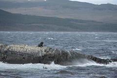 Otarie sud-américaine, flavescens d'Otaria, colonie d'élevage et haulout sur le petit extérieur Ushuaia d'îlots juste Photo libre de droits