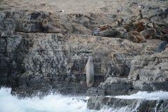 Otarie sud-américaine, flavescens d'Otaria, colonie d'élevage et haulout sur le petit extérieur Ushuaia d'îlots juste Image libre de droits
