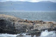 Otarie sud-américaine, flavescens d'Otaria, colonie d'élevage et haulout sur le petit extérieur Ushuaia d'îlots juste Photos libres de droits