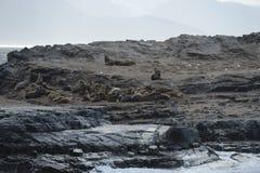 Otarie sud-américaine, flavescens d'Otaria, colonie d'élevage et haulout sur le petit extérieur Ushuaia d'îlots juste Images libres de droits