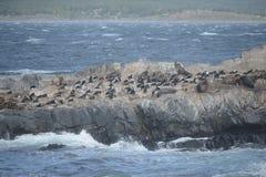 Otarie sud-américaine, flavescens d'Otaria, colonie d'élevage et haulout sur le petit extérieur Ushuaia d'îlots juste Photographie stock