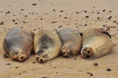 Otarie sur la plage images stock