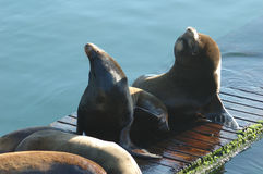 Otaries photo libre de droits