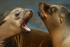 Otaries Photo stock
