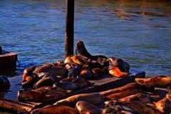 Otaries au coucher du soleil Photo stock