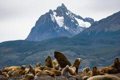 Otaries dans le Patagonia, Tierra del Fuego Photographie stock libre de droits