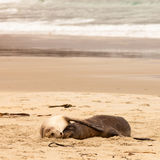 Otaries de accouplement de verres prenant un somme sur la plage Photo stock