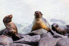 Otaries de Galapagos se trouvant sur des roches au point de Suárez, Espanola ISL Images stock