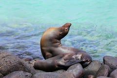 Otaries de Galapagos se trouvant sur des roches au point de Suárez, Espanola ISL Images libres de droits