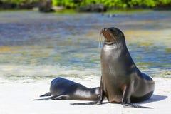 Otaries de Galapagos sur la plage chez Gardner Bay, île d'Espanola Images stock