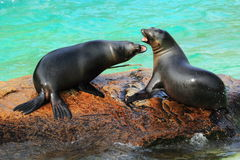 Otaries de la Californie Photographie stock