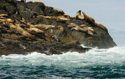 Otaries de Steller Images libres de droits