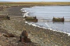 Otaries du sud avec le chiot - Falkland Islands Photo stock