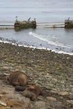 Otaries du sud avec le chiot - Falkland Islands Photos stock