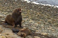 Otaries du sud avec le chiot - Falkland Islands Images stock
