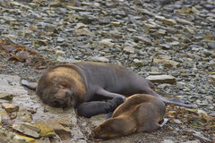 Otaries du sud sur Falkland Islands Image stock
