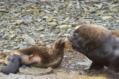 Otaries du sud sur Falkland Islands Photo libre de droits