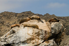 Otaries en Punta de Choros, Chili Images stock