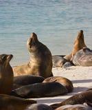 Otaries - Espanola - îles de Galapagos Image stock