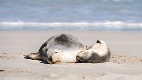 Otaries, parc de conservation de baie de joint, île de kangourou, SA, Australie Photographie stock libre de droits