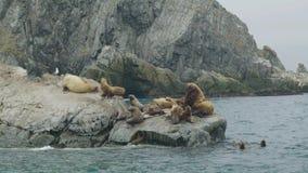 Otaries se reposant sur la falaise et nageant dans l'eau d'océan Faune et animal de mer banque de vidéos