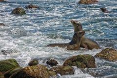 Otaries sur la plage Images stock