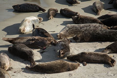 Otaries sur la plage Image stock