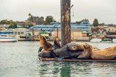 Otaries sur un dock flottant photo stock