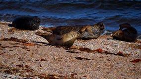 Otaries sur une plage en Ecosse Image libre de droits