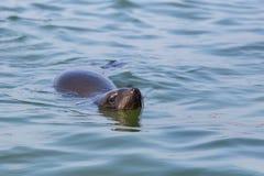 Otariidae del sello espigado del retrato que nada en el agua azul, sol imagenes de archivo