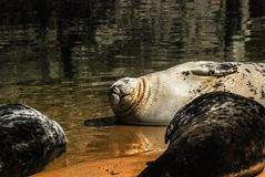 Sea lion in a protected area. Otarinos are a subfamily of marine mammals known as sea lions Royalty Free Stock Images