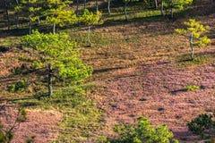 22, Otc, 2016 - de Zonsopgang, de beatyful wolk en het roze gras in pijnboombos in Dong Vietnam van Dalat- Lam Stock Fotografie