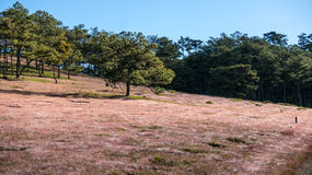 22,Otc,2016 -The flower pink grass in pine forest in Dalat- Lam Dong- Vietnam Royalty Free Stock Images