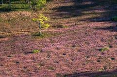 22, Otc, 2016 - grama cor-de-rosa na floresta do pinho no dong Vietname do Lam de Dalat- Imagem de Stock