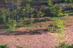 22, Otc, 2016 - grama cor-de-rosa na floresta do pinho no dong Vietname do Lam de Dalat- Fotos de Stock Royalty Free