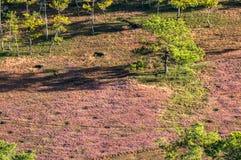 22, Otc, 2016 - hierba rosada en bosque del pino en la fuga Dong Vietnam de Dalat- Fotografía de archivo