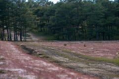 22, Otc, 2016 - hierba rosada en bosque del pino en la fuga Dong Vietnam de Dalat- Foto de archivo