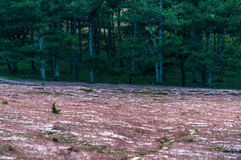 22, Otc, 2016 - la hierba del rosa de la flor en bosque del pino en la fuga Dong Vietnam de Dalat- Imagen de archivo