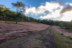 22, Otc, 2016 - o nascer do sol, a nuvem beatyful e a grama cor-de-rosa na floresta do pinho em Dalat- Lam o dong Vietname Imagens de Stock Royalty Free