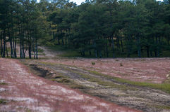 22,Otc,2016 - pink grass in pine forest in Dalat- Lam Dong- Vietnam Stock Photo