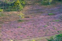 22, Otc, 2016 - roze gras in pijnboombos in Dong Vietnam van Dalat- Lam Royalty-vrije Stock Afbeeldingen