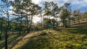 22, Otc, 2016 - sol en la hierba en bosque del pino en la fuga Dong Vietnam de Dalat- Imagen de archivo
