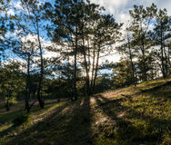 22, Otc, 2016 - sol en la hierba en bosque del pino en la fuga Dong Vietnam de Dalat- Fotografía de archivo