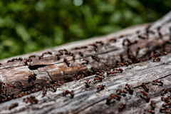 Other life - forest ants. The instinct of continuous construction and rough activity strikes in ants Royalty Free Stock Image
