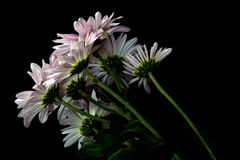 The Other Side. Flower portrait of a group of Pink daisies from beneath and from the back the other side stock image