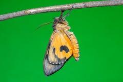 Othreis fullonia moth Royalty Free Stock Image