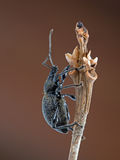 Otiorhynchus sulcatus aka Black vine weevil macro, profile. Macro, climbing twig. Garden pest stock images